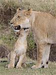 Lion (Panthera leo) female and cub, Masai Mara, Kenya, Eat Africa, Africa