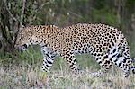 Leopard (Panthera pardus), Masai Mara, Kenya, East Africa, Africa