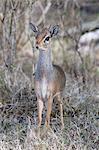 Dik Dik (Madoqua kirkii), Masai Mara, Kenya, East Africa, Africa