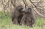 Olive baboon (Papio anubis), Samburu National Park, Kenya, East Africa, Africa