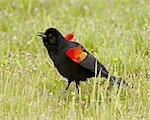 Male red-winged blackbird (Agelaius phoeniceus) displaying, San Jacinto Wildlife Area, California, United States of America, North America