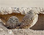 Burrowing owl (Athene cunicularia) pair, Salton Sea, California, United States of America, North America