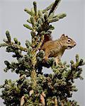 Red squirrel (spruce squirrel) (Tamiasciurus hudsonicus) in a spruce tree, Denali National Park and Preserve, Alaska, United States of America, North America