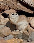 Round-tailed ground squirrel (Spermophilus tereticaudus), The Pond, Amado, Arizona, United States of America, North America