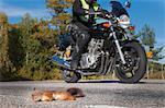 Roadkilled squirrel