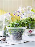Flowering violets in glass flower pot