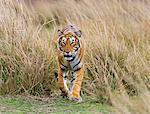 India, Rajasthan, Ranthambhore.  A Bengal tiger walks purposefully through dry grassland.