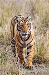 India, Rajasthan, Ranthambhore.  A one year old Bengal tiger cub walks purposefully through dry grassland.