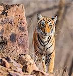 India, Rajasthan, Ranthambhore.  A one year old Bengal tiger.