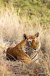 India, Rajasthan, Ranthambore. Royal Bengal tiger lying in the grass.