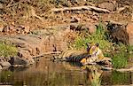 India, Rajasthan, Ranthambore. Royal Bengal tiger keeping cool in water.