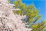 Blooming Cherry Tree in Spring, Ueno Park, Taito-ku, Tokyo, Japan