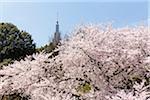 Blooming Cherry Tree at Shinjuku Gyoen National Garden, Shinjuku, Tokyo, Japan