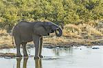 Etsha Nat. Park. Elephant drinking at a pond