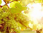 Green grapes on the grape vine.