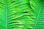 Fresh bright green fern leaves as a background.