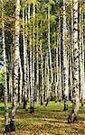 Birch in the autumn forest in sunlight