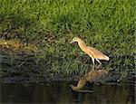 Adult Squacco Heron fishing in evening sun