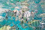 Closeup showing shoal of sergeant major damselfish Abudefduf saxatilis in a tropical coral sea