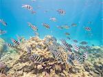 Shoal of sergeant major damselfish Abudefduf saxatilis on a tropical coral reef