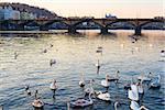 sunset view of swans in Vltava river, Prague old town, Czech Republic