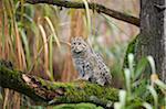 Portrait of Fishing Cat (Prionailurus viverrinus) in Autumn, Germany
