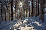 Snow Covered Winter Forest with Sun, Grosser Feldberg, Frankfurt, Taunus, Hesse, Germany