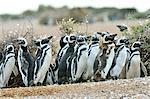 Magellanic penguin (Spheniscus Magellanicus), Patagonia, Argentina, South America
