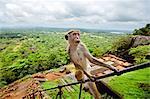 Toque Macaque (Macaca sinica), Rilewa, Sigiriya Rock, Dambulla, Sri Lanka, Asia