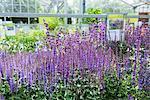 Lavender flowers for sale in garden centre, Augsburg, Bavaria, Germany