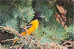 Profile of a bright orange male oriole perched in a blue spruce pine tree.