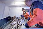 Fishermen sorting fish on trawler