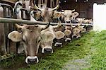 Portrait of cows in pen