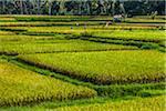 Ricefield, Petulu near Ubud, Bali, Indonesia
