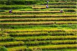 Rice Harvesting, Kedampal, Bali, Indonesia