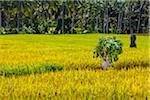 Worker in Rice Field, Junjungan near Ubud, Bali, Indonesia