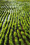 Rice Seedlings at Rice Terraces, Jatiluwih, Bali, Indonesia