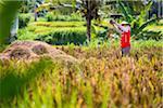 Rice Harvesting near Ubud, Bali, Indonesia