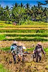 Rice Harvesting, Petulu near Ubud, Bali, Indonesia