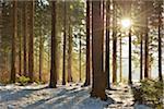 Sun through Coniferous Forest in Winter, Altenau, Harz, Lower Saxony, Germany
