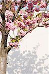 Cherry Blossom tree in bloom. Brooklyn.