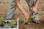 Organic farmer planting new growth cabbage plants