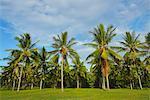 Coconut Palm Plantage