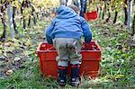 Toddler boy helps in harvesting grapes in vineyard