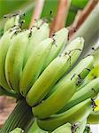 Green bananas growing in Tanzania, Africa (close-up)