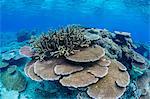 Underwater profusion of hard plate corals at Pulau Setaih Island, Natuna Archipelago, Indonesia, Southeast Asia, Asia