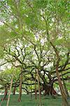 Grand Banyan tree, Yangshuo, Guilin, Guanxi, PRC
