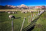 Sheep on the farm at Estancia La Oriental, Perito Moreno National Park, Santa Cruz Province, Patagonia, Argentina, South America
