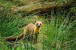 Pine marten (Martes martes), Devon, England, United Kingdom, Europe