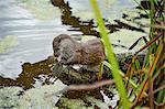 Otter, (Lutra lutra), Devon, United Kingdom, Europe